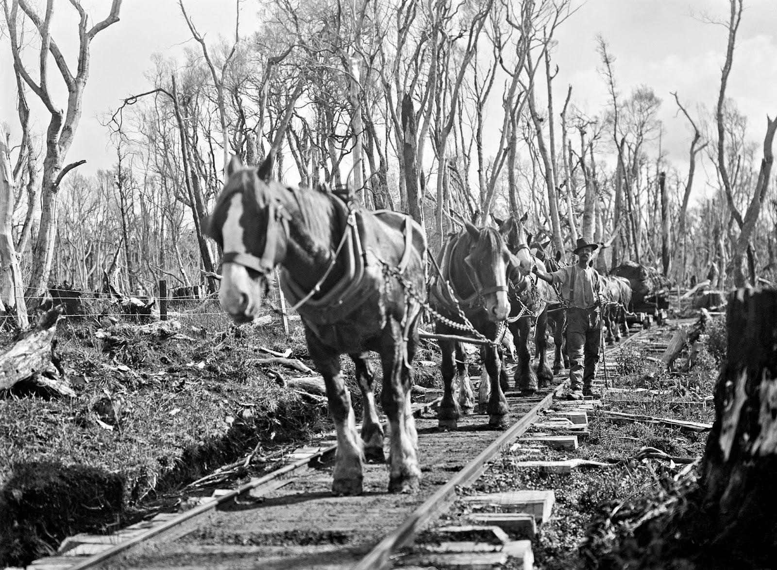 Horse-drawn rail timber wagon hauling a log to the mill at Horopito, February 1921.jpg